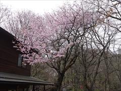 見晴台 みすずや 山桜