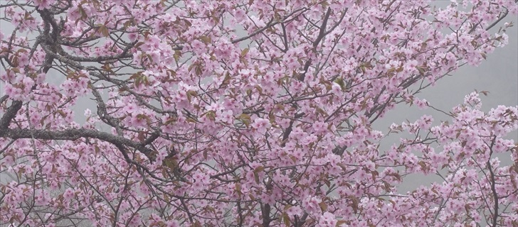 軽井沢 見晴台バス停付近 しげの屋の展望台 山桜満開 2018年4月23日濃霧