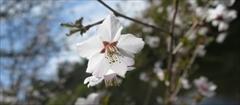 軽井沢 雲場池 桜