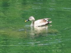 雲場池 水鳥