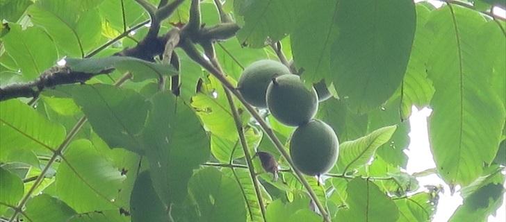 軽井沢の雲場池のオニグルミの実