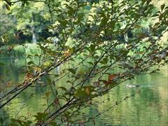 軽井沢 雲場池 チョウジザクラの紅葉