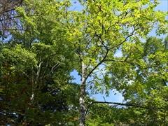 軽井沢 雲場池 雲場池 クルミの木の黄葉