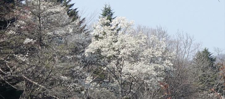 軽井沢 雲場池 軽井沢 雲場池は整備工事中 外観から満開のコブシの花が見えます 2018年4月21日