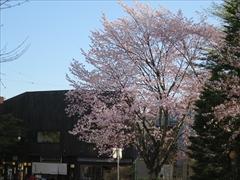 酢重正之の前 オオヤマ桜