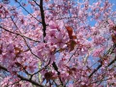 オオヤマ桜 満開