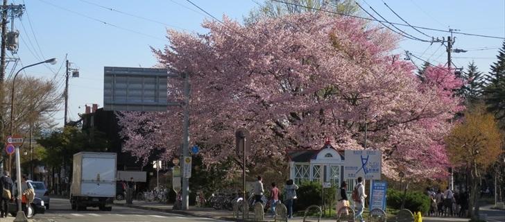 軽井沢 旧軽ロータリーのオオヤマ桜が満開