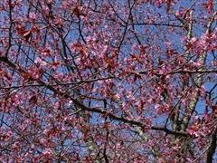 オオヤマ桜 散り始め