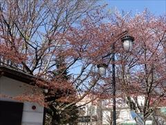 オオヤマ桜 葉桜