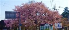 軽井沢 旧軽ロータリー 桜
