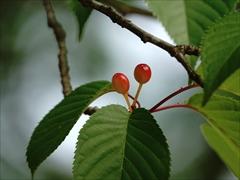オオヤマ桜のサクランボ