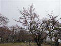見晴台 濃霧 山桜満開