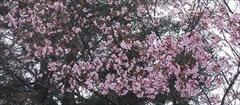 軽井沢 見晴台 桜