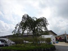 センターモール 枝垂れ桜