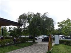 駐車場 枝垂れ桜