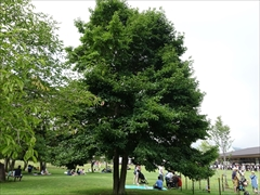 ツリーモール コブシの木