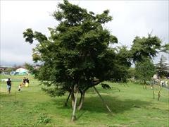 ツリーモール モミジの木