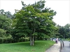 アウトレット外周 カエデの木
