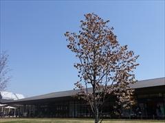 軽井沢 アウトレット ツリーモール山桜満開