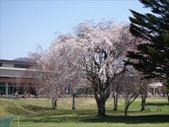 軽井沢 アウトレット ツリーモール枝垂れ桜満開