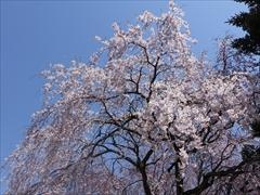 軽井沢 アウトレット 左写真の桜のアップ