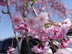 軽井沢 アウトレット 上写真の桜のアップ