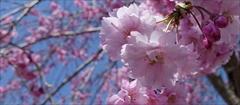 軽井沢 アウトレット 桜