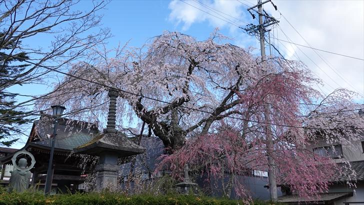 軽井沢 桜