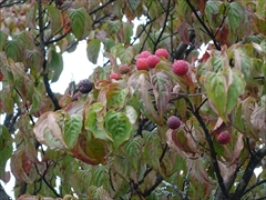 街路樹 ヤマボウシの実