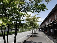 軽井沢 街路樹 ヤマボウシ