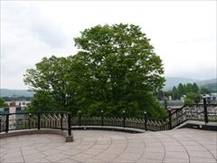 軽井沢 軽井沢駅北口の木々