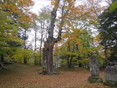 諏訪神社 御神木 紅葉