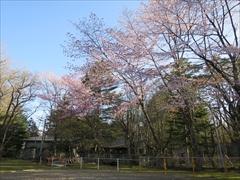 諏訪の森公園 桜