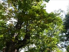 諏訪神社の御神木