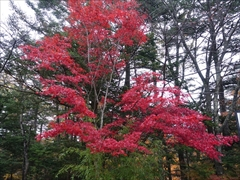 諏訪の森公園 モミジ紅葉