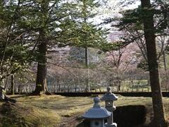 諏訪神社境内から公園の桜