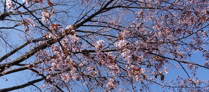 諏訪の森公園のヤマ桜が散り始めています 2018年4月21日