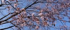 軽井沢 諏訪神社 桜