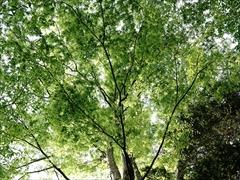 ハルニレ 新緑