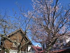 軽井沢駅前交番 桜