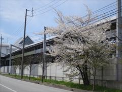 軽井沢駅南口 桜