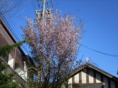 軽井沢教会 桜