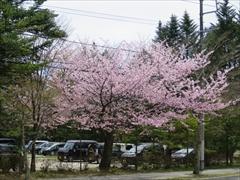 東急ハーベスト前 桜
