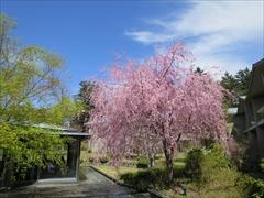 東急ハーベスト内 桜
