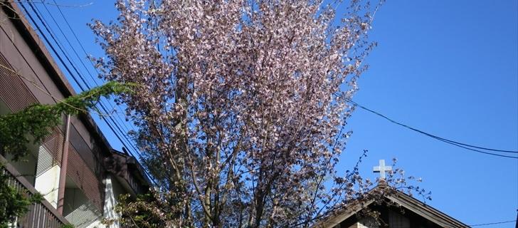旧軽銀座通りの軽井沢教会の山桜が満開