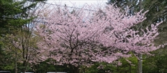 軽井沢 軽井沢駅周辺 東急ハーベスト 桜