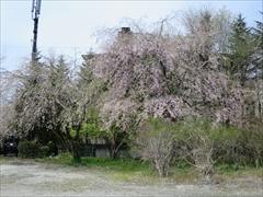 大賀ホール駐車場 枝垂れ桜