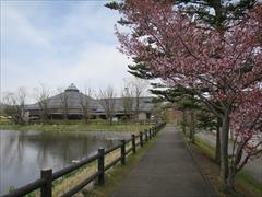 矢ヶ崎公園の遊歩道 桜並木