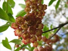 サラサドウダン開花