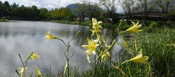 矢ヶ崎公園のユウスゲ(別名アサマキスゲ)が綺麗